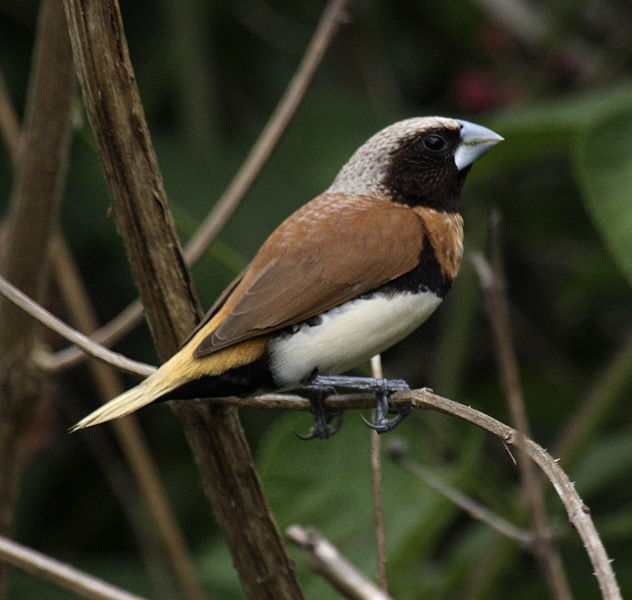 Chestnut-breasted_Munia