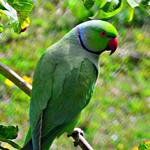 asiatic-parrots