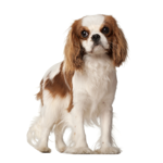 dogs-king-charles-cavalier