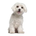 dogs-maltese
