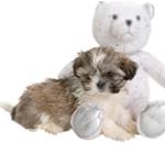 dog shitzu for sale