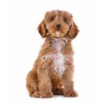 dogs-spoodle