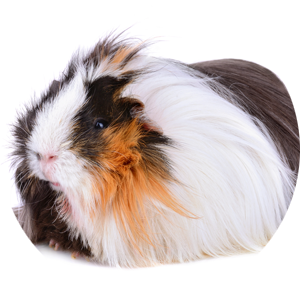 long-haired-guinea300