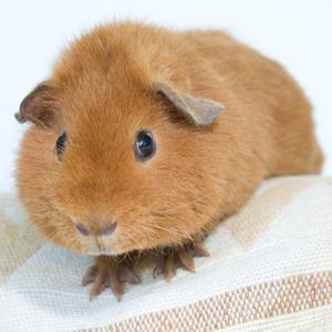 short-haired-guinea300