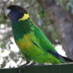 Australian mallee Ringneck Port Lincoln parrot Parakeet