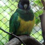 Australian mallee Ringneck Port Lincoln parrot Parakeet4