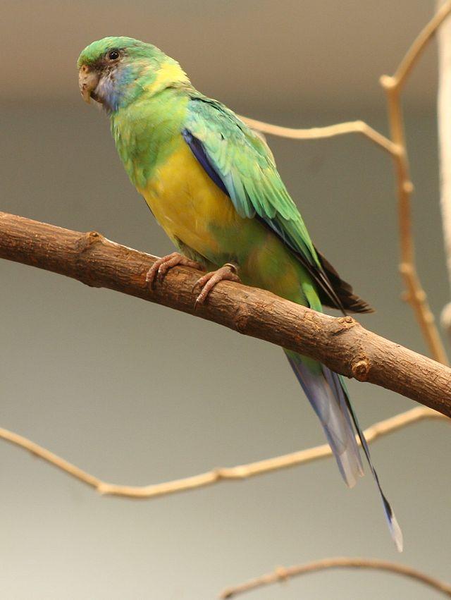 Australian mallee Ringneck Port Lincoln parrot Parakeet5