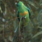 Australian mallee Ringneck Port Lincoln parrot Parakeet6