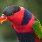 Black Capped Lory Lorikeet3