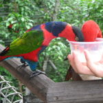 Black Capped Lory Lorikeet4