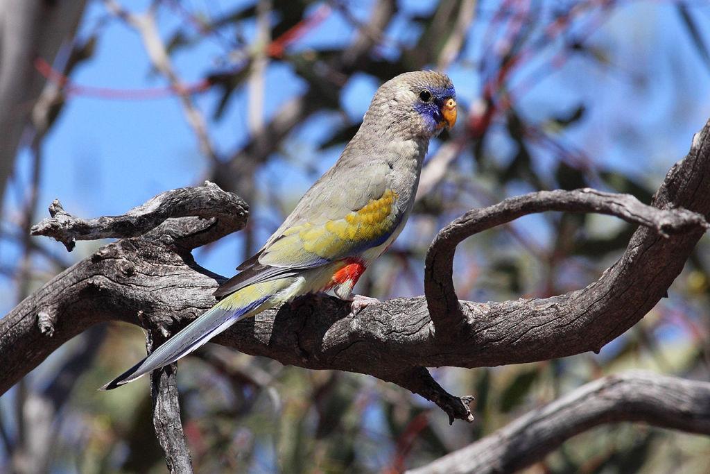 Blue Bonnet Parrot Parakeet2