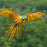 Blue-and-Yellow-Macaw2