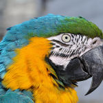 Blue-and-Yellow-Macaw4