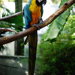 Blue-and-Yellow-Macaw6