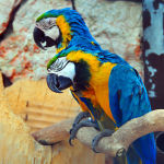 Blue-and-Yellow-Macaw7