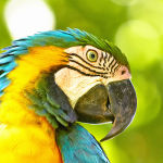 Blue-and-Yellow-Macaw9