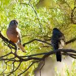Bourke's Parrot Parakeet2
