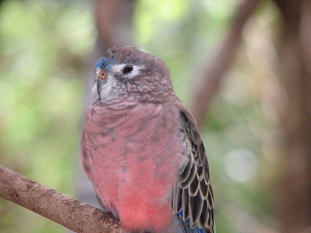 Bourke's Parrot Parakeet3