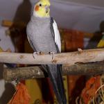 Cockatiel Parrot Parakeet