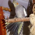 Cockatiel Parrot Parakeet2
