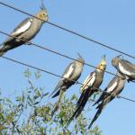 Cockatiel Parrot Parakeet3
