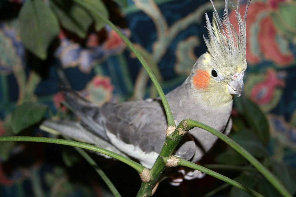 Cockatiel Parrot Parakeet4