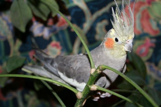 Попугай породы корелла фото