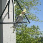 Cockatiel Parrot Parakeet5