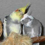 Cockatiel Parrot Parakeet6