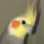 Cockatiel Parrot Parakeet7