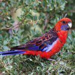 Crimson Rosella Parrot Parakeet