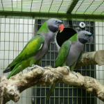 Derbyan Parrot