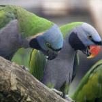 Derbyan Parrot2