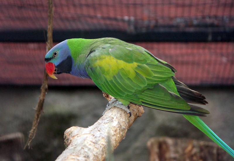 Derbyan Parrot4