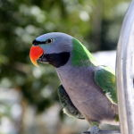 Derbyan Parrot5