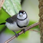 Double Barred Finch2