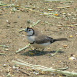 Double Barred Finch3