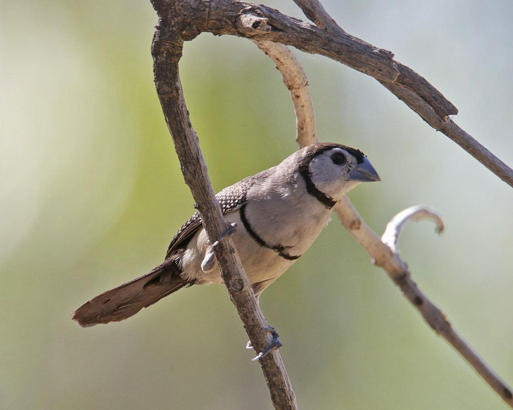 Double Barred Finch4