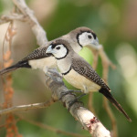 Double Barred Finch5