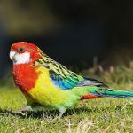 Eastern Rosella Parrot Parakeet