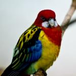 Eastern Rosella Parrot Parakeet2