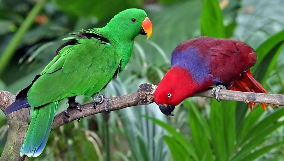 Eclectus Parrot Parakeet
