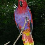 Eclectus Parrot Parakeet2