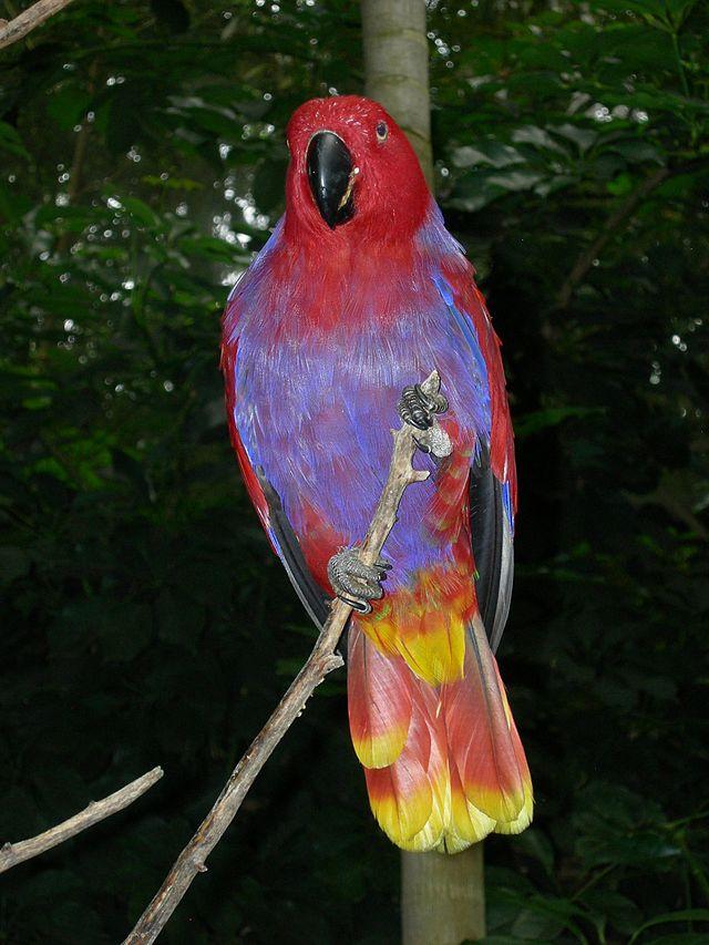 Living Jungle Eclectus Parrot