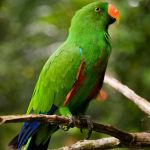 Eclectus Parrot Parakeet3