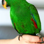 Eclectus Parrot Parakeet5