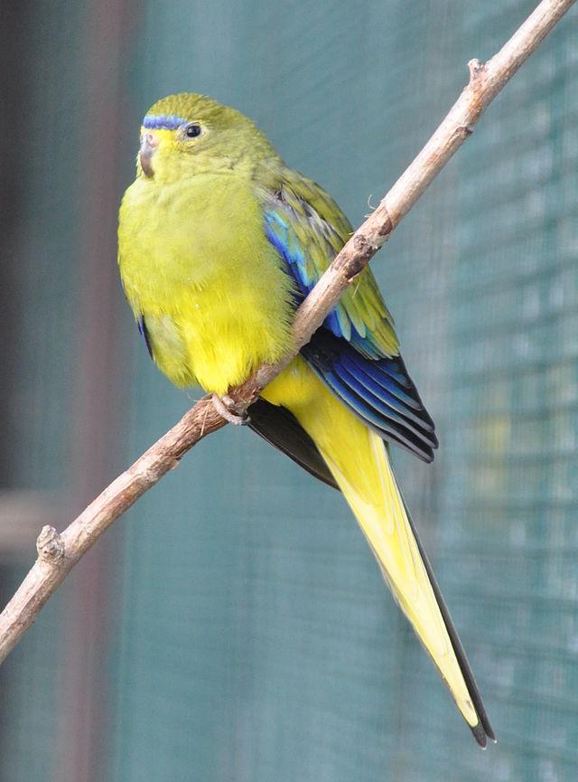 Elegant Parrot Parakeet
