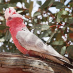 Galah Cockatoo2