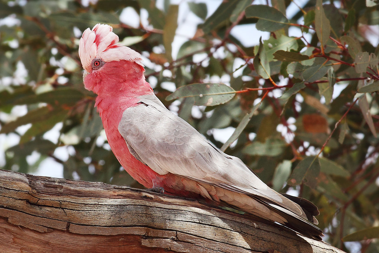 Living Jungle | Galah Cockatoo