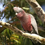 Galah Cockatoo4